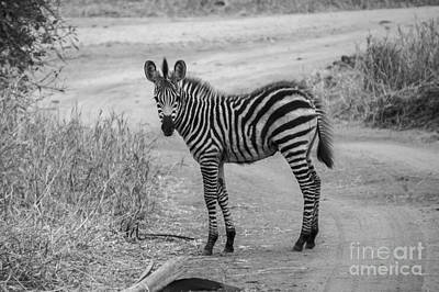 Gaugin Rights Managed Images - Baby Zebra Royalty-Free Image by Jessica Brusco