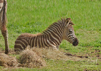 Photograph - Baby Zebra Resting by Kathy Baccari