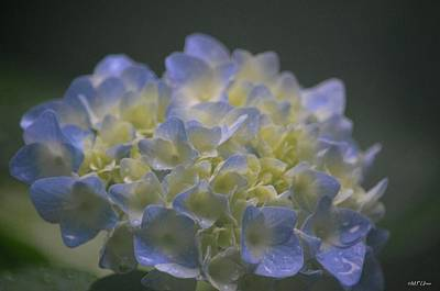 Photograph - Baby's Blue by Maria Urso