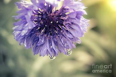 Photograph - Bachelor Button Wildflower by Peggy Franz