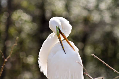 Photograph - Back Scratching Egret by Jessica Brown