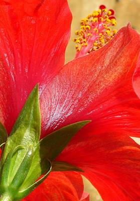 Photograph - Back View Of A Beautiful Bright Red Hibiscus Flower by Tracey Harrington-Simpson