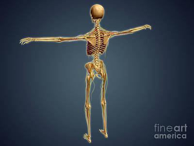 Human Skeleton Digital Art - Back View Of Human Skeleton by Stocktrek Images