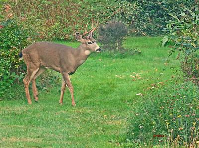 Photograph - Back Yard Buck  by Gracia  Molloy