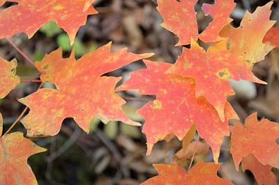 Photograph - Backbone Autumn Maple by Bonfire Photography