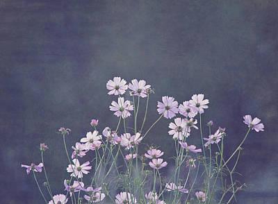 Kim Photograph - Backlight - Cosmos Flowers by Kim Hojnacki