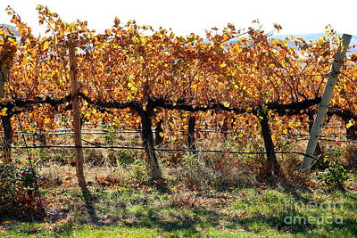 Grape Leaves Photograph - Backlit Autumn Vineyard by Carol Groenen
