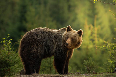 Slovakia Photograph - Backlit Bear by Richard Krchnak