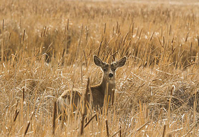 Photograph - Backlit Deer by Jean Noren