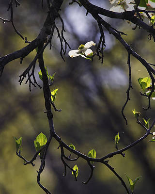Photograph - Backlit Dogwood Blossom In Natural Frame by Michael Dougherty