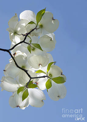 Photograph - Backlit Dogwood by Wanda Krack