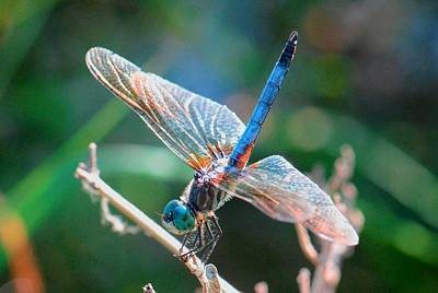 Photograph - Backlit Dragonfly by Amy Porter