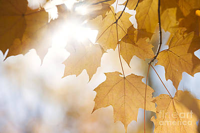Orange Sun Photograph - Backlit Fall Maple Leaves In Sunshine by Elena Elisseeva