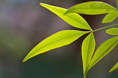 Photograph - Backlit Green Leaves by Melinda Fawver