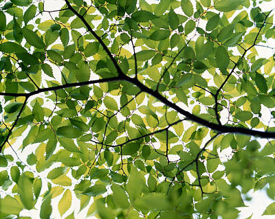 Backlit Green Tree Branch Art Print by Panoramic Images
