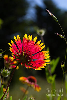 Photograph - Backlit Indian Blanket by Jim McCain