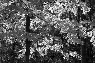 Photograph - Backlit Leaves Black And White by Clint Buhler