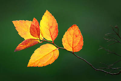 Photograph - Backlit Leaves by Carolyn Derstine