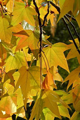 Photograph - Backlit Liquidambar Leaves by Kirsten Giving