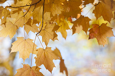 Canada Photograph - Backlit Maple Leaves In Fall by Elena Elisseeva