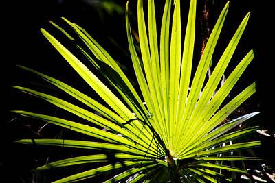 Photograph - Backlit Palm Frond by David Rich