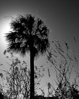 Photograph - Backlit Palm And Grasses by Connie Fox