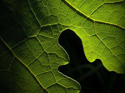 Photograph - Backlit Plume Poppy Leaf by Rob Huntley