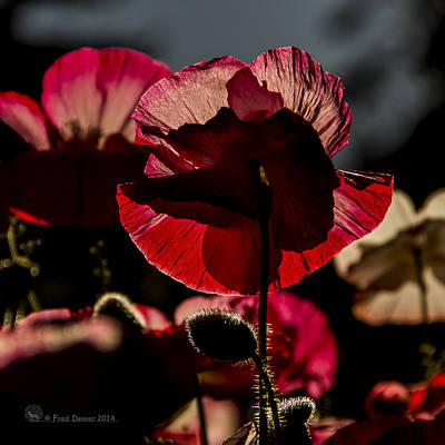 Photograph - Backlit Poppy #2 by Fred Denner
