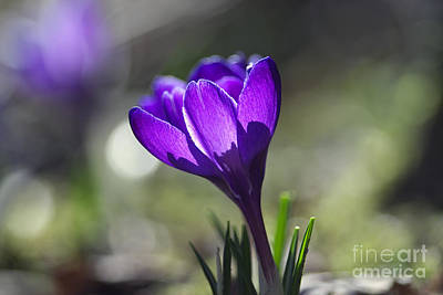 Spring Bulbs Photograph - Backlit Purple Crocus by Sharon Talson