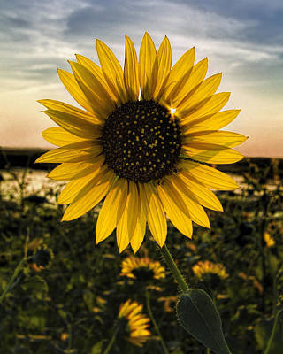 Photograph - Backlit Sunflower by Rob Graham