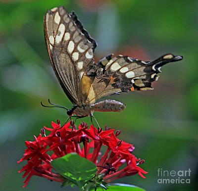Backlit Swallowtail Art Print by Larry Nieland