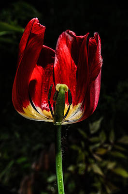Photograph - Backlit Tulip by Michael Goyberg
