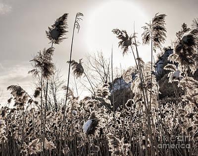 Backlit Winter Reeds Art Print