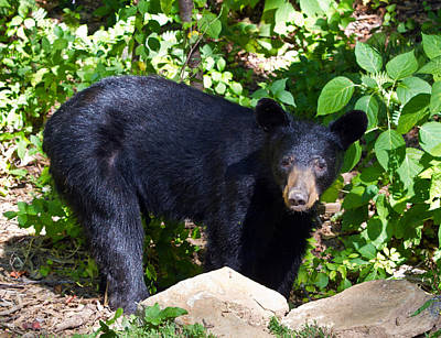 Photograph - Backyard Bear by John Haldane