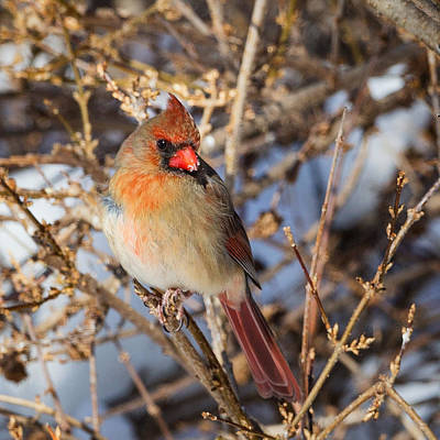 Small Birds Photograph - Backyard Birds Female Nothern Cardinal Square by Bill Wakeley