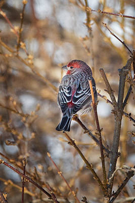 House Finch Photograph - Backyard Birds House Finch by Bill Wakeley