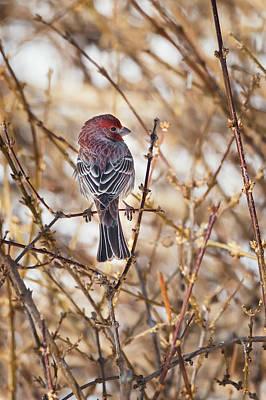 Finch Photograph - Backyard Birds Male House Finch by Bill Wakeley