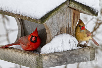 Photograph - Backyard Cardinals by Ronald Lutz