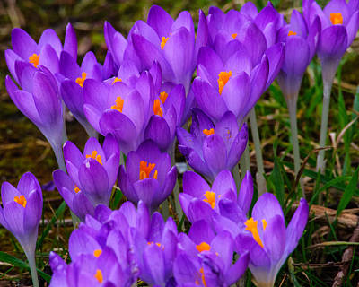 Photograph - Backyard Crocus by Tikvah's Hope