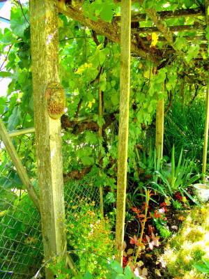 Beastie Boys - Backyard Grape Arbor by Jeri lyn Chevalier