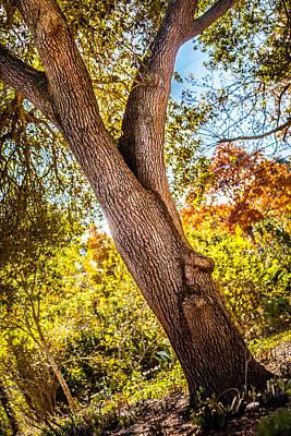 Photograph - Backyard Oak by Melinda Ledsome