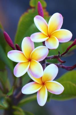 Floral Landscape Photograph - Backyard Plumeria by Jade Moon