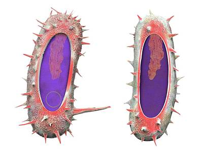 Organism Wall Art - Photograph - Bacterial Conjugation by Tim Vernon / Science Photo Library