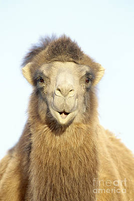 Photograph - Bactrian Camel Camelus Bactrianus by Art Wolfe