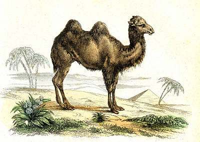 Bactrian Camel Art Print by Collection Abecasis
