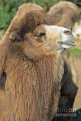 Camels Photograph - Bactrian Camel by George Atsametakis
