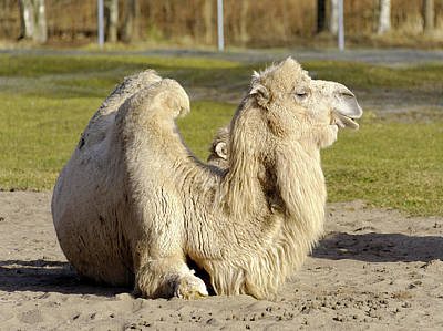 Camel Photograph - Bactrian Camel by Heiti Paves