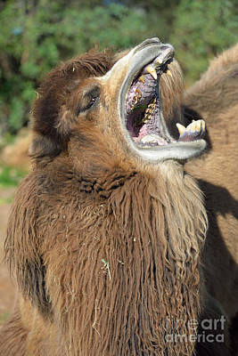 Camels Photograph - Bactrian Camel Yawning by George Atsametakis