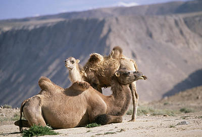 Camel Photograph - Bactrian Camels by M. Watson