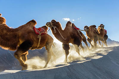 Camel Photograph - Bactrian Or Double Humped Camels by Peter Adams